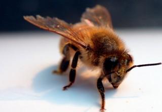 Modrost čebel